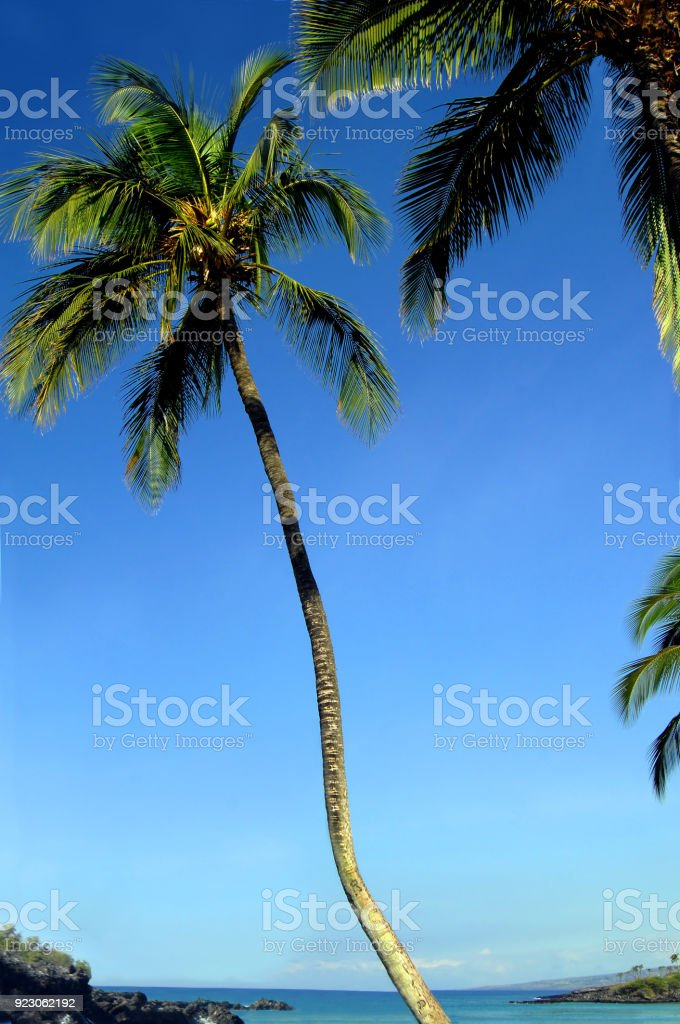 big island leaning palm tree stock photo more pictures of beach