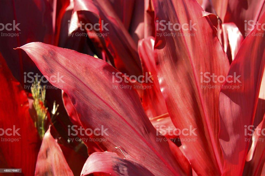 Big Island Red stock photo