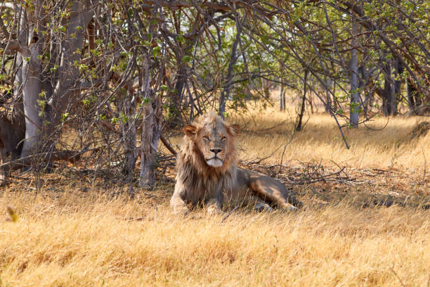 Big kalahari lion stock photo