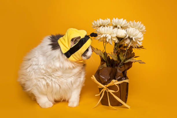 Big Kitty in Bumble Bee Hat Sniffing Flowers An adorable white and gra cat in a bumble bee hat on yellow sniffing  pot of flowers. sdominick stock pictures, royalty-free photos & images