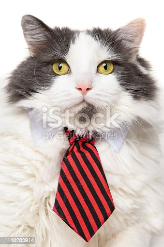 A big white and gray longhair cat wearing a red and black striped tie.