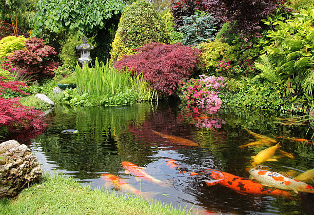 A big koi pong with orange fish and greenery Japanese garden with koi fish pond stock pictures, royalty-free photos & images