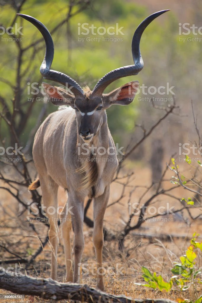 Big kudu bull graze among dead thorn shrub for green leaves stock photo