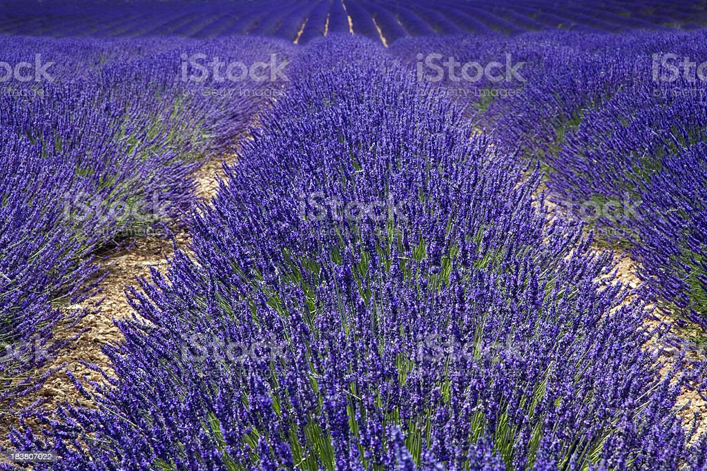 Big Lavender field at Provence royalty-free stock photo