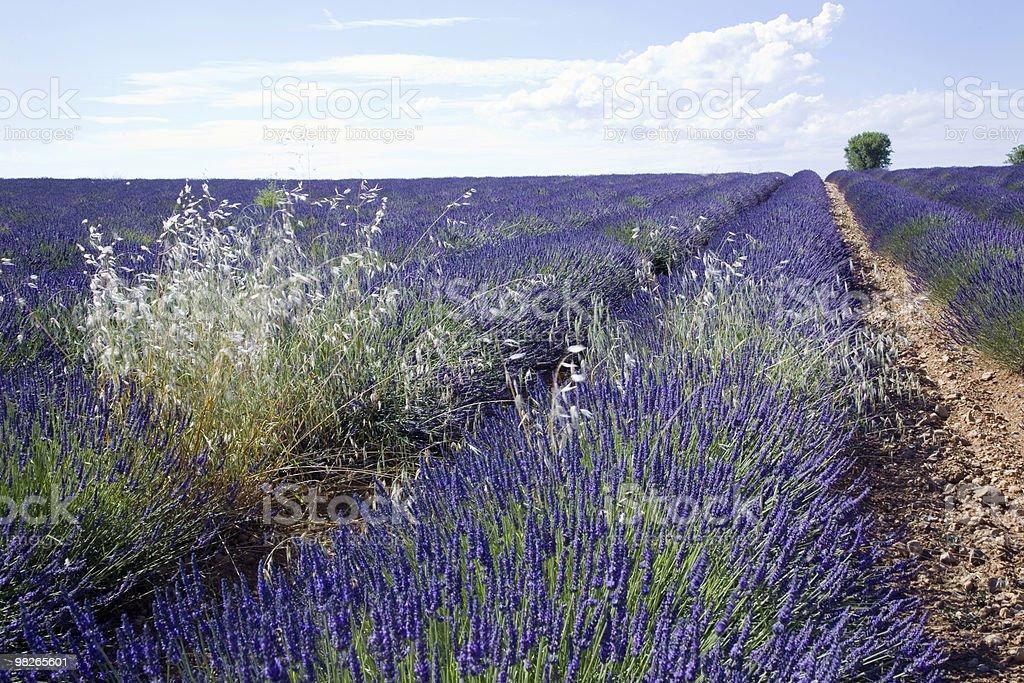 Big Lavender field royalty-free stock photo