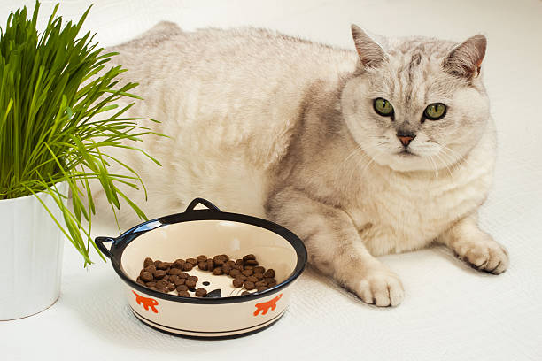 Big lazy overweight cat with bowl of dry food picture id545641722?b=1&k=6&m=545641722&s=612x612&w=0&h=jtwhystutqqhczd6wq8dux4nxmzoypvm4750x1ljy54=