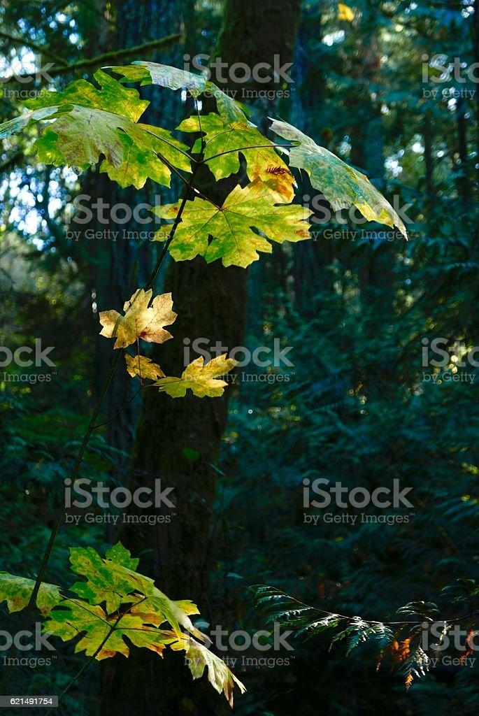 Big Leaf Maple in the shade, autumn colors Lizenzfreies stock-foto