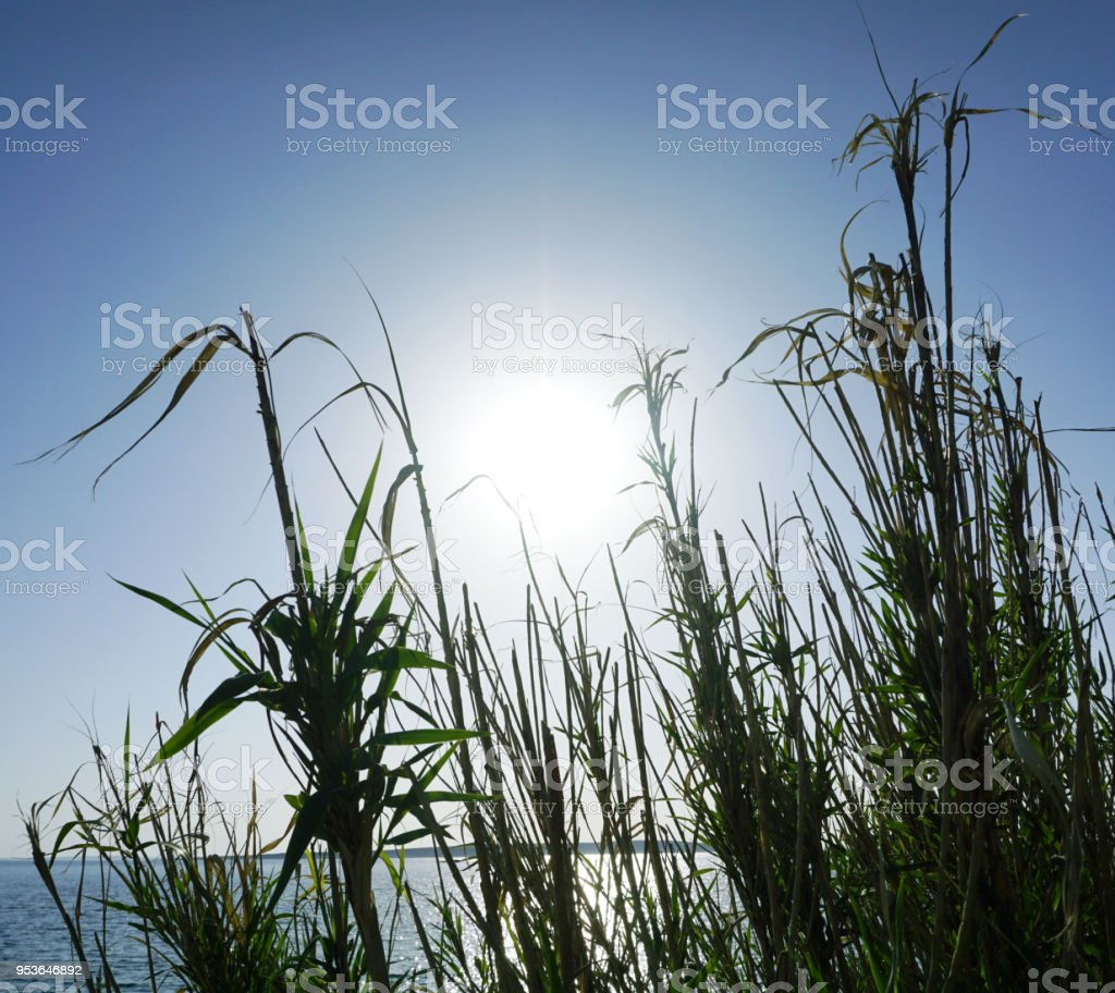 Big leaves and branches of reed grass in front and the turquoise blue sky with big sun reflecting on the sea surface in the background, Adriatic sea stock photo