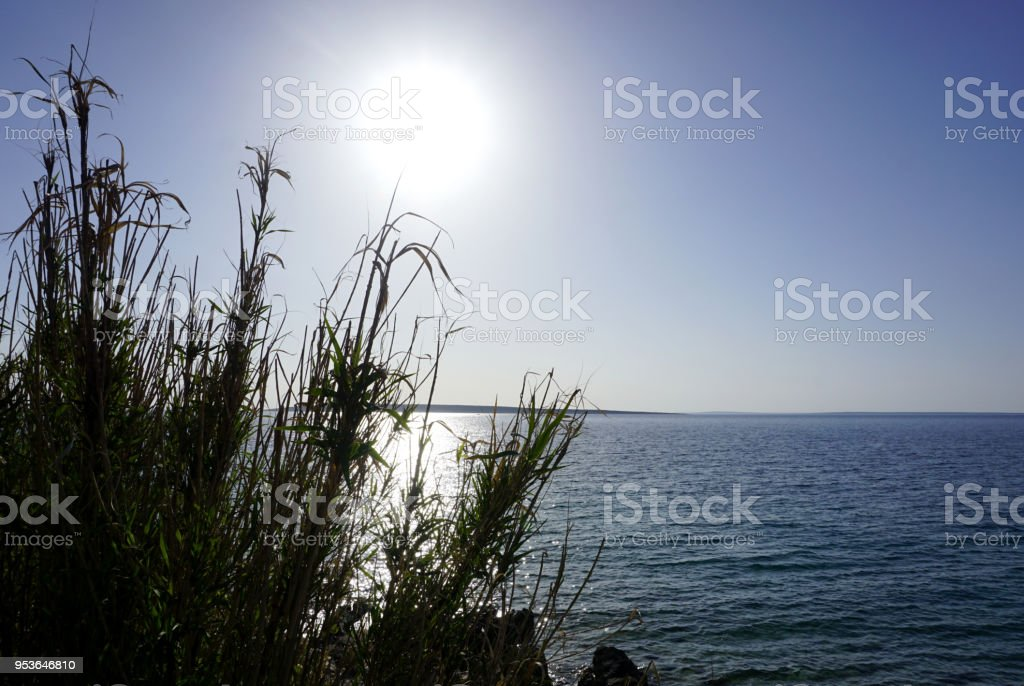 Big leaves of reed grass Phragmites on the sea coast near sea surface with big sun on the clearly blue sky in the background. Beauty of Adriatic sea stock photo