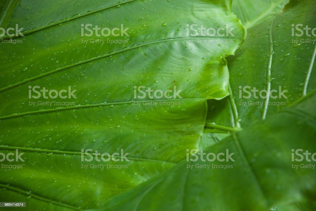 Big leaves with drops zbiór zdjęć royalty-free