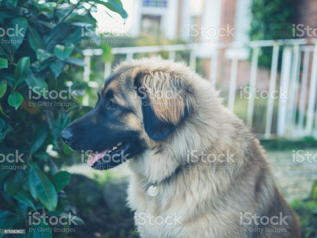 Big Leonberger dog sitting in garden photo libre de droits