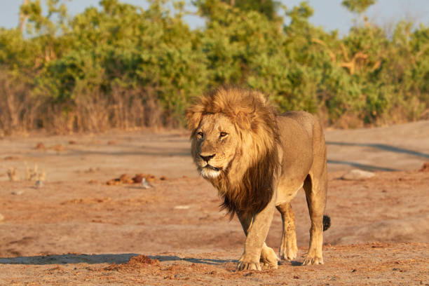 Big lion in the sunset stock photo