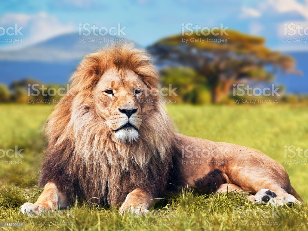 Big lion lying on savannah grass stock photo