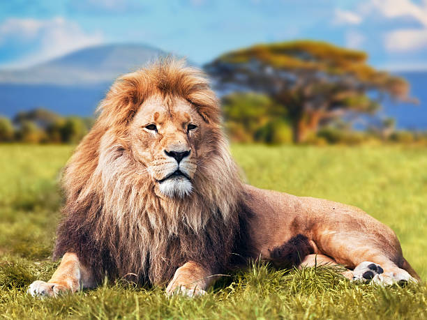 big lion lying on savannah grass - lion stock photos and pictures
