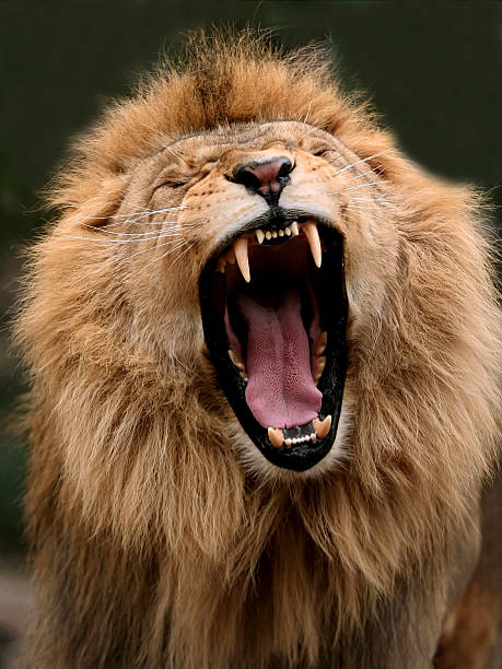 Big lion showing who is the king  animal mouth stock pictures, royalty-free photos & images
