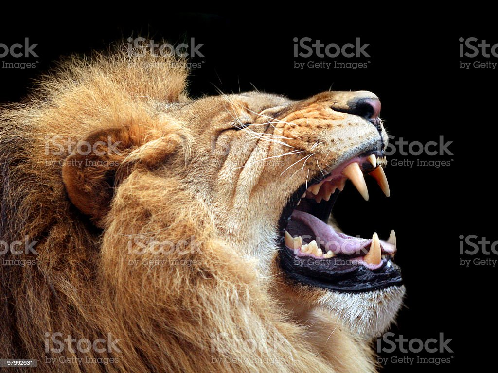 Big lion showing who is the king (focus on teeth) royalty free stockfoto