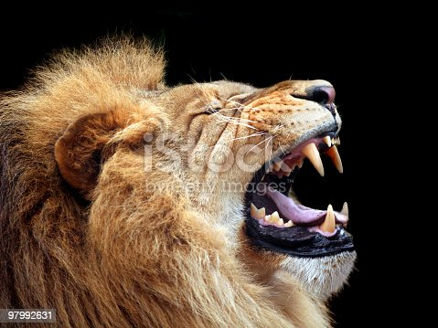 istock Big lion showing who is the king (focus on teeth) 97992631