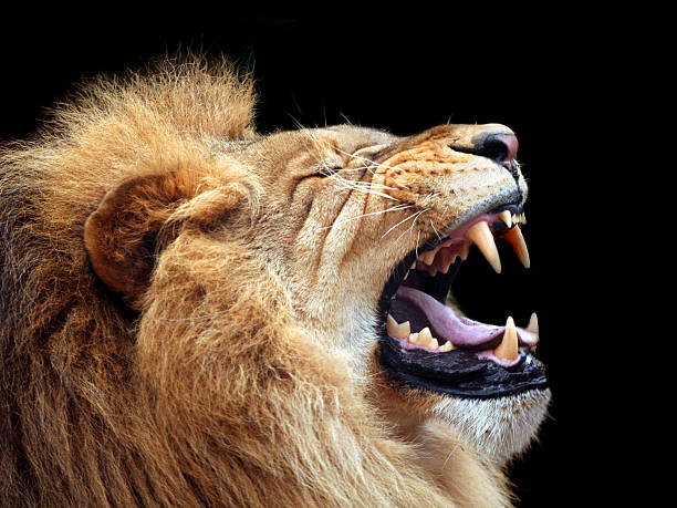 big lion showing who is the king (focus on teeth) - lion stock photos and pictures
