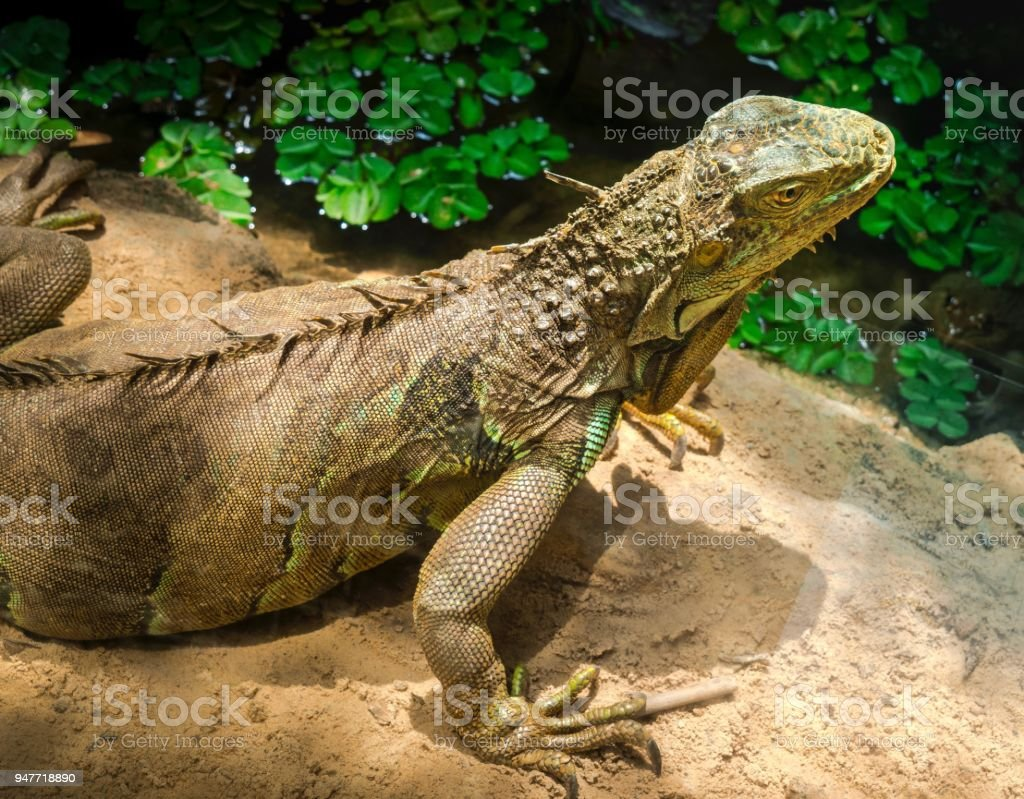 Big Lizard By The Pond In Garden Stock Photo & More Pictures of ...
