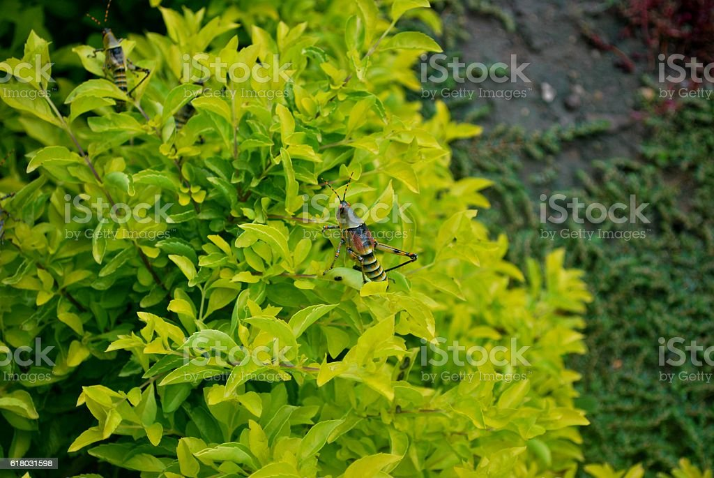 Big locust on a quite green plant stock photo