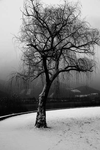 Royalty Free Weeping Willow Tree Meaning Pictures Images And Stock