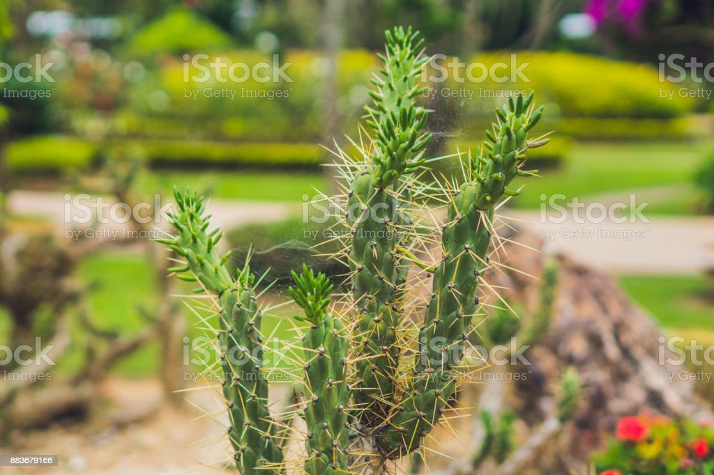 Big long cactus in a tropical park stock photo