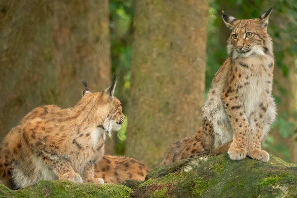 A big lynx is attentive outside stock photo