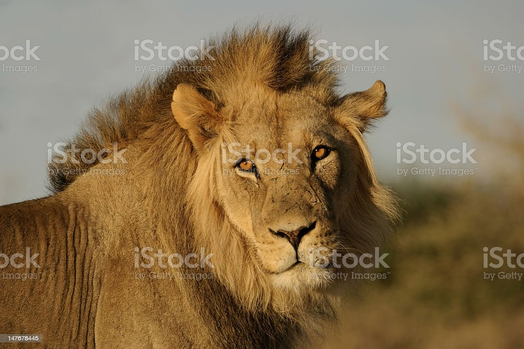 Big male African lion royalty-free stock photo