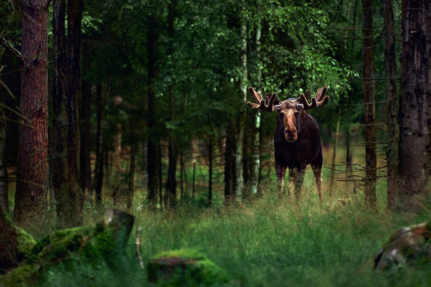 Big male Bull moose (Alces alces) in deep forest of Sweden. Big animal in the forest. Elk symbol of Sweden stock photo