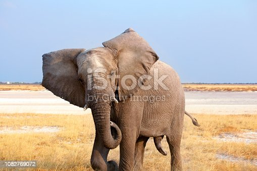 Big male elephant with long trunk close up in Etosha National Park, Namibia, South Africa