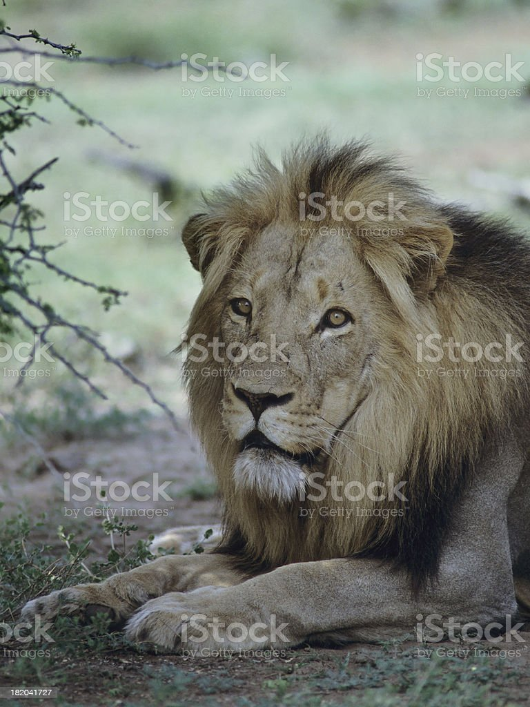 Big Male Lion in the Shade stock photo