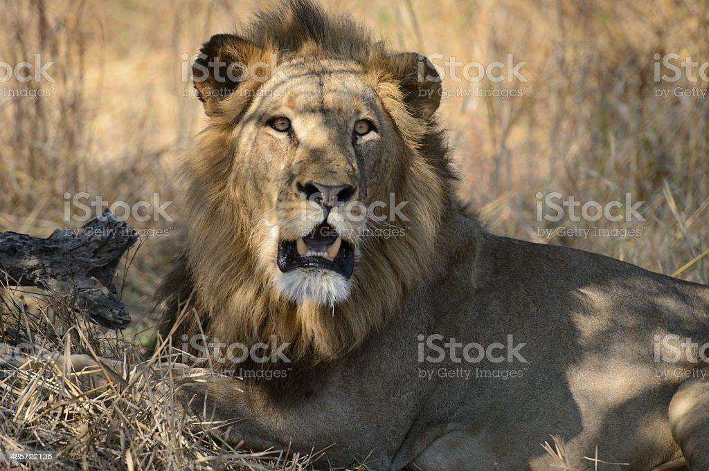 Big macho león mirando a la cámara - foto de stock