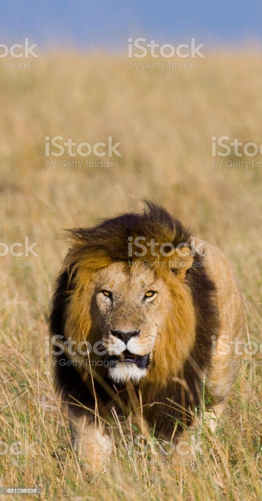 Big male lion standing in the savanna. royalty-free stock photo