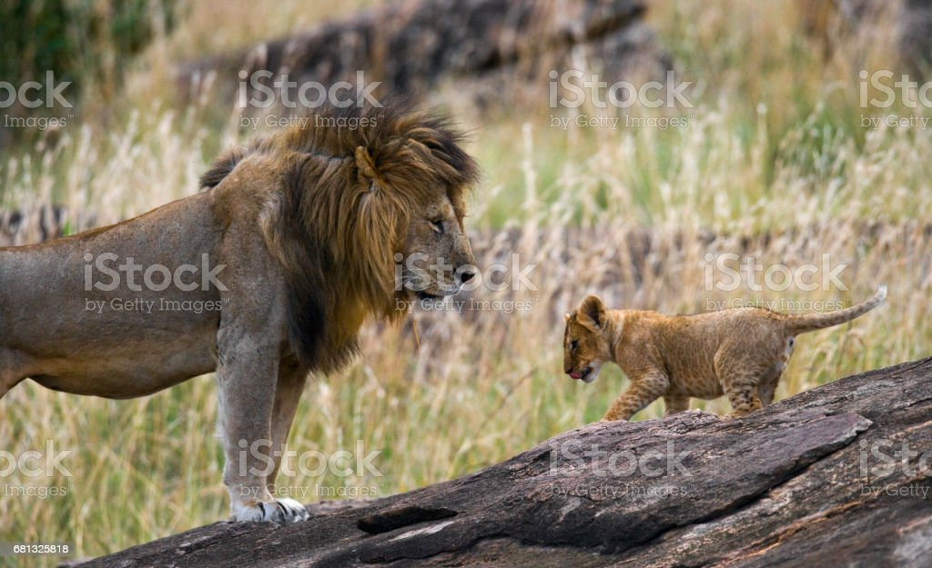 Big male lion with cub. stock photo