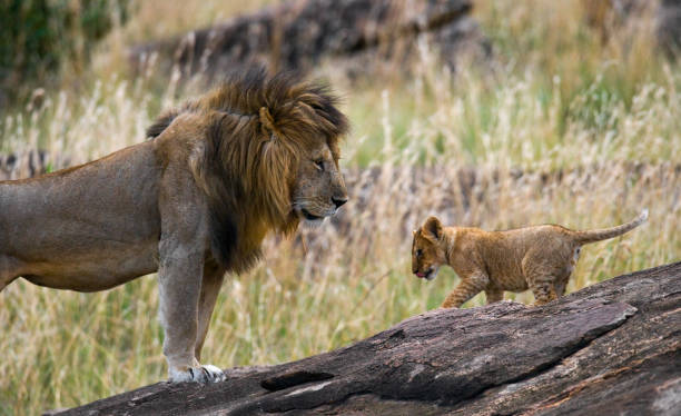 Big male lion with cub. Big male lion with cub. National Park. Kenya. Tanzania. Masai Mara. Serengeti. An excellent illustration. lion cub stock pictures, royalty-free photos & images