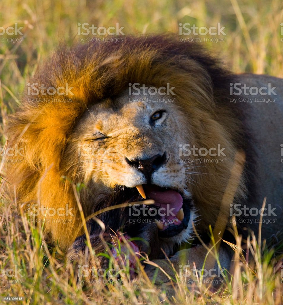 Big male lion with gorgeous mane eating prey. royalty-free stock photo