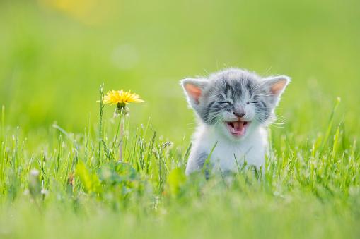 istock Big Meow 826557526