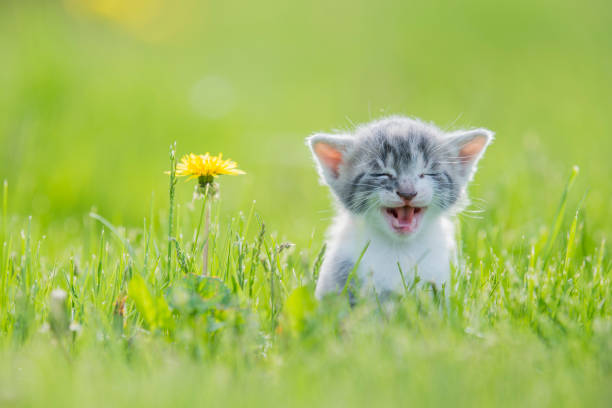 Big Meow A small grey, white and orange kitten is outside in the grass alone. In this frame the cat is looking curious and giving lots of effort to get out a big meow. In this frame the kitten is sitting next to a dandelion. ultra high definition television stock pictures, royalty-free photos & images