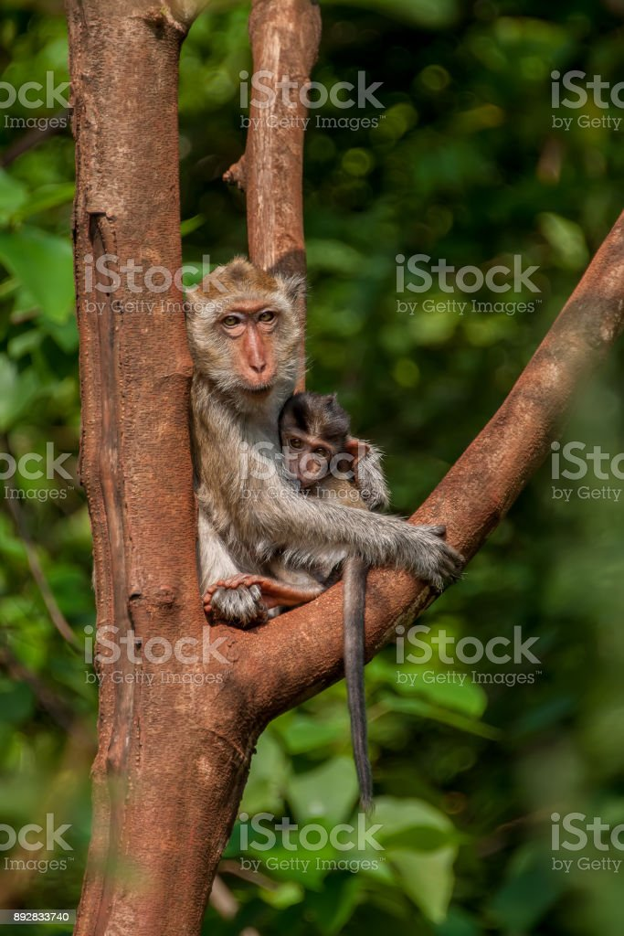 Big monkey feeding baby sitting on a tree in the jungle on a Sunny day stock photo