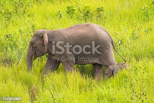Big mother elephant walking with her young small baby in high green grass, forest at Khao Yai, Nakhon Ratchasima, Korat, Thailand