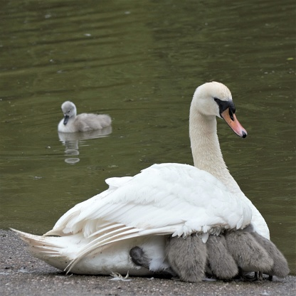 The cygnets were scared by thunder and hid under the parent's wind