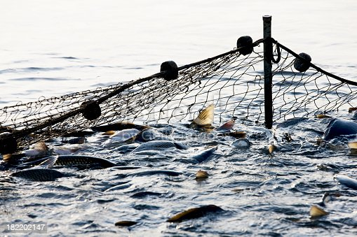 Hundrets of fishes trapped by a fishing net. Fishing industry. Motion blur. XXXL (Canon Eos 1Ds Mark III)