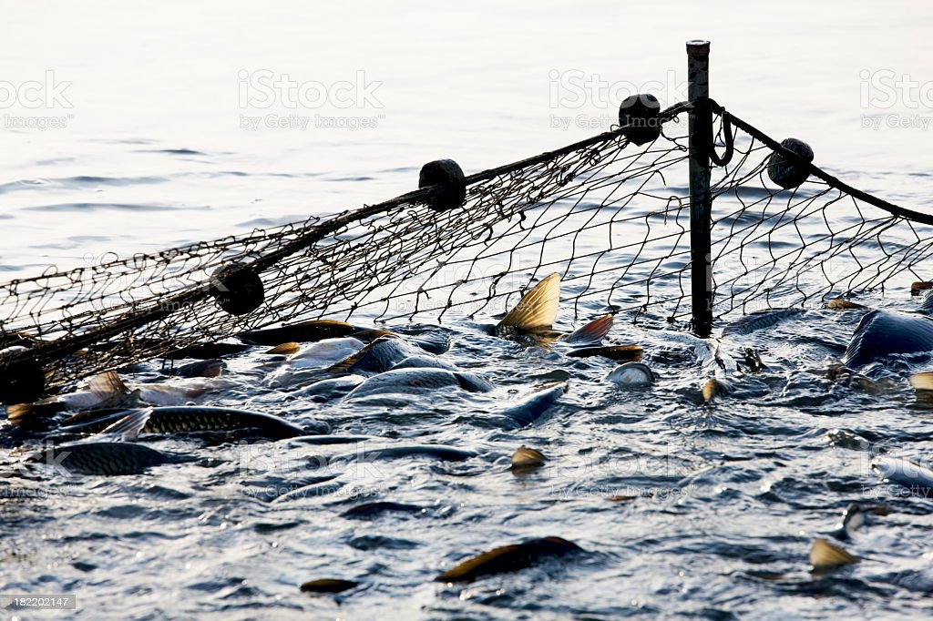 Big net thrown in the ocean capturing lots of fish stock photo