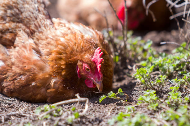 Big nice beautiful red brown hens feeding outdoors in green meadow with fresh grass on bright sunny day on blurred background. Farming of poultry, chicken meat and eggs concept. stock photo