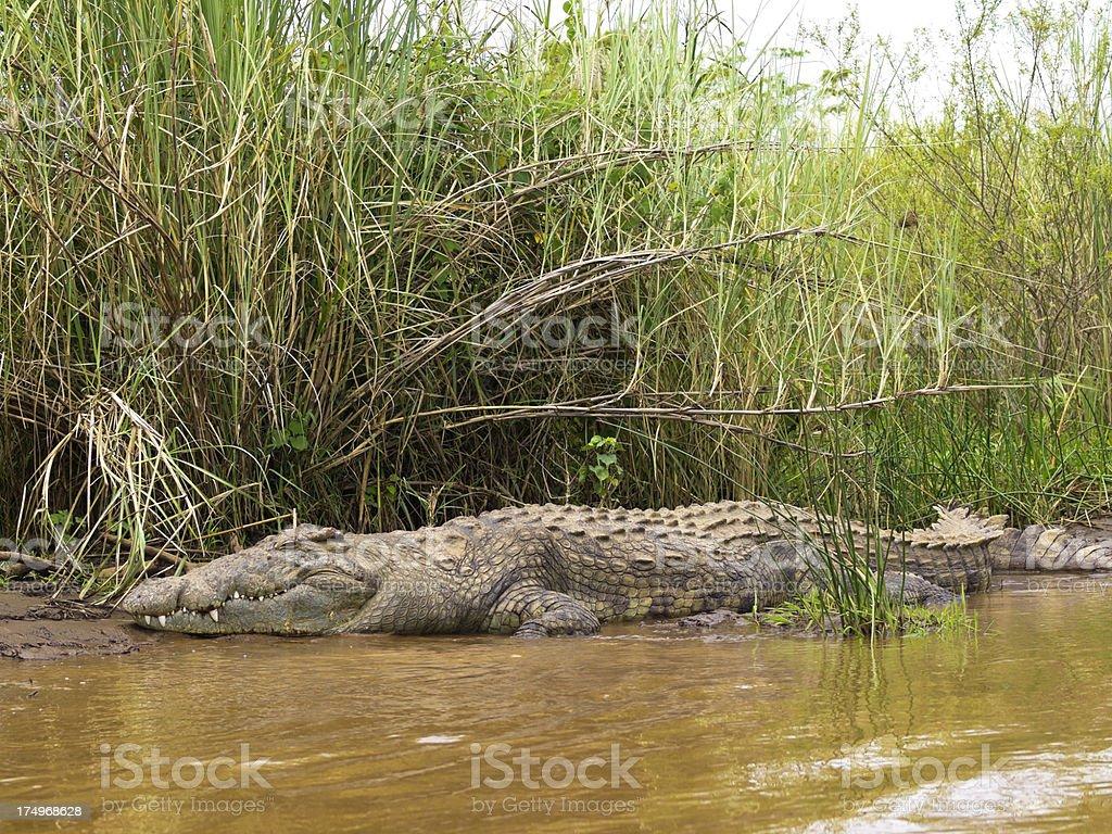 Big Nile crocodile in the lake stock photo