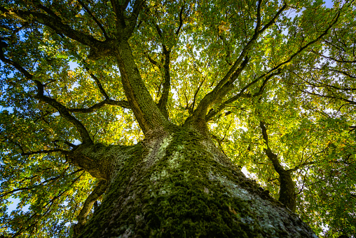View up in a big oak in the autumn sunlight