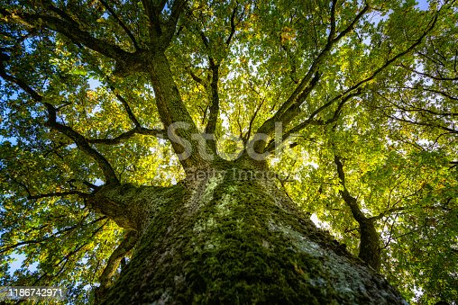 View up in a big oak in the autumn sunlight