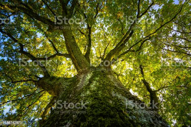 Photo of big oak in the sunlight