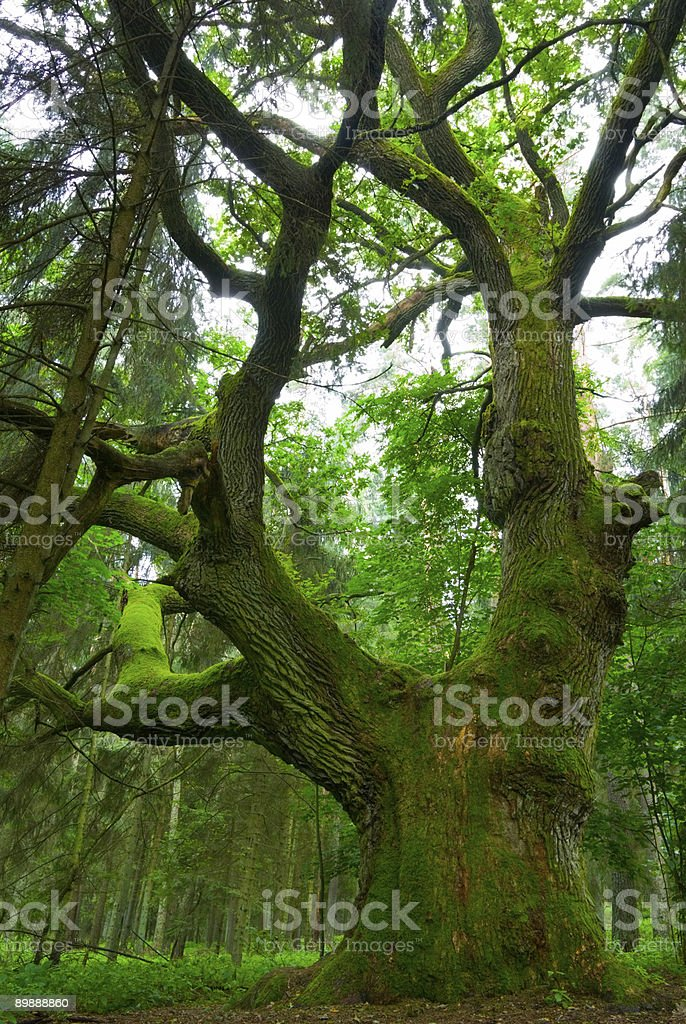 Big oak. royalty-free stock photo