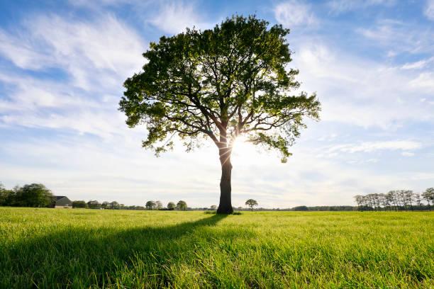 grote eikenboom en zonneschijn, op zomerweide foto